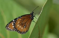 Queen (Danaus gilippus) is familie van de Monarch.