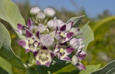 Crown Flower (Calotropis gigantea).