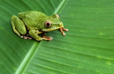 Seychelles Tree Frog (Tachycnemis seychellensis) on palm leaf.