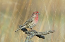 Mexicaanse roodmus (House Finch), (Carpodacus mexicanus), prairie.