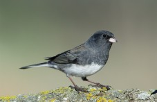 Grijze junco (Dark-eyed Junco), (Junco hyemalis), de leikleurige variant brengt de winter door in het Middenwesten.