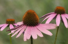 Purple Cone Flower (Echinacea purpurea).