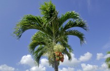 Christman Palm (Adonidia merrillii).