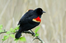 Epauletspreeuw (Red-winged Blackbird), (Agelaius phoeniceus), baltsende man.