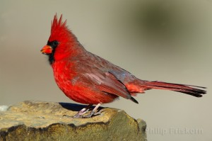 Rode kardinaal (Northern Cardinal), (Cardinalis cardinalis), close up op rots.