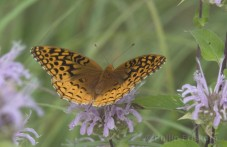 Great Sprangled Fritilary (Speyeria cybele), op Wilde bergamot.
