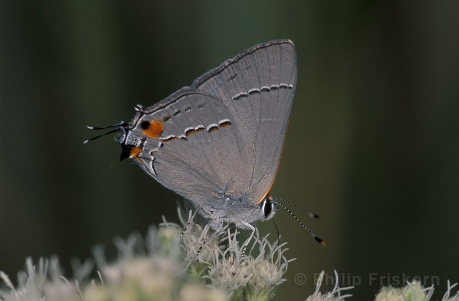 Grey Hairstreak (Strymon melinus), een kleine page op de prairie.